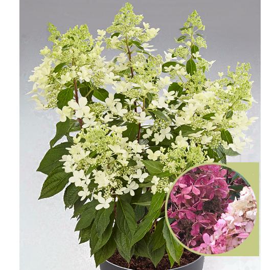 Kötterheinrich Hortensienkulturen Pandria