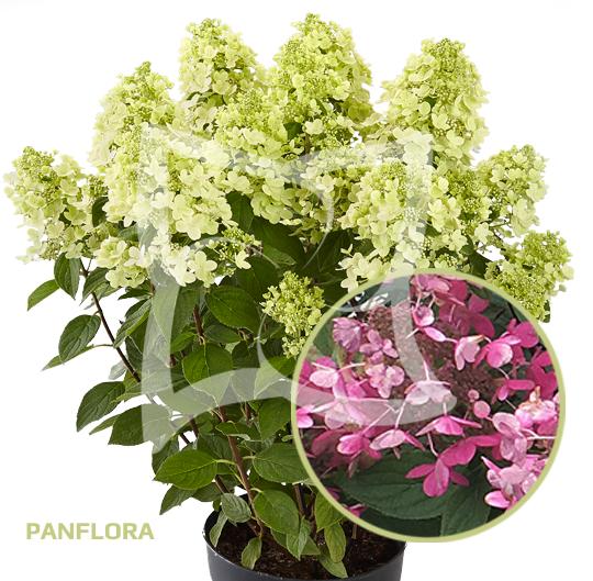 Panflora