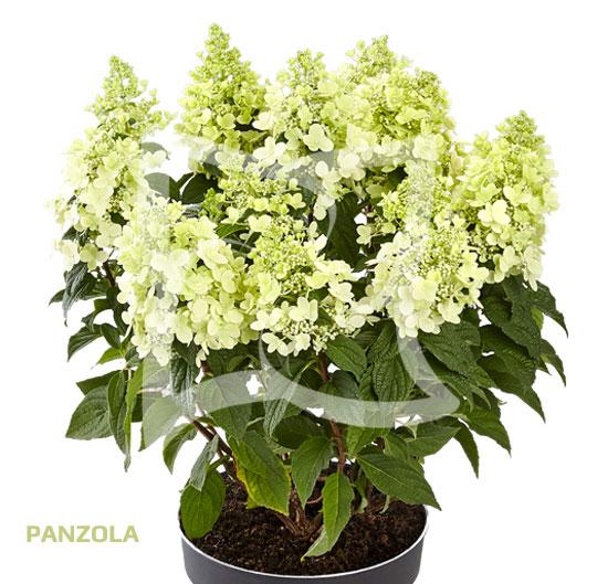 Panzola