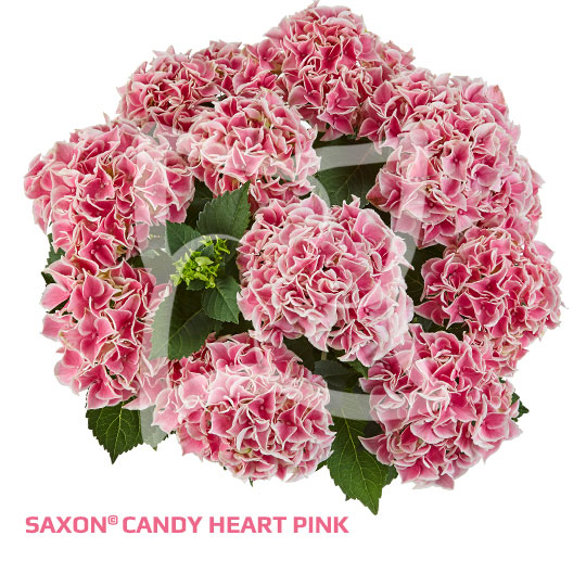 Saxon<sup>®</sup> Candy Heart Pink