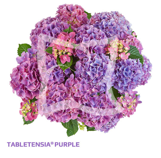 Tabletensia<sup>®</sup> Purple