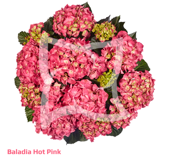 Baladia Hot Pink
