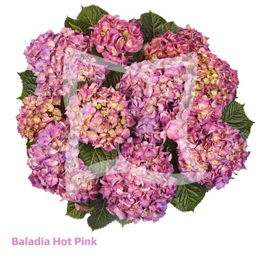 Baladia Purple