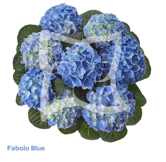 Fabolo Blue