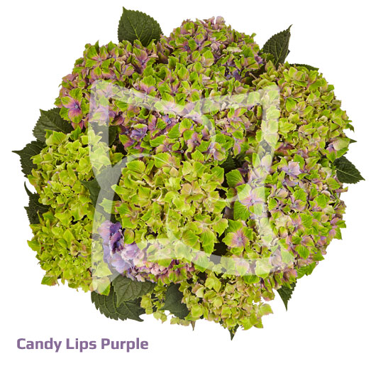 Candy Lips Purple