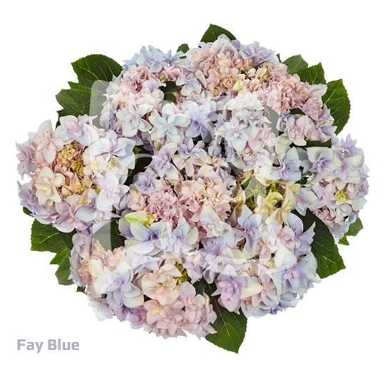 Fay Blue