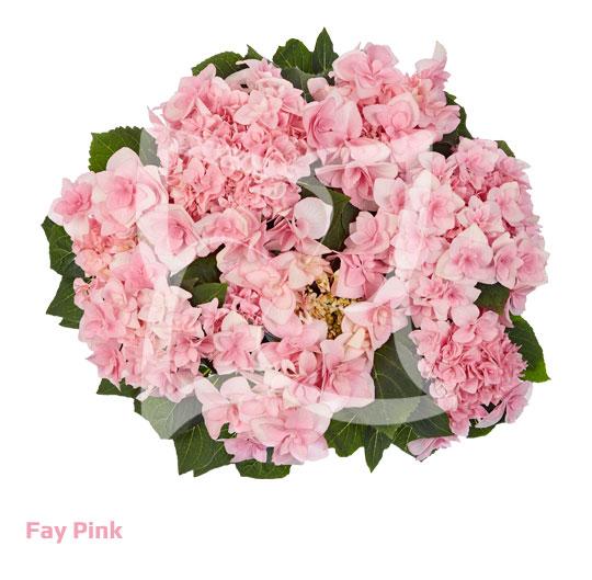 Fay Pink