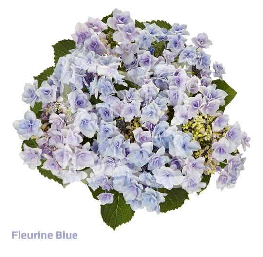 Fleurine Blue