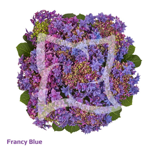 Francy Blue
