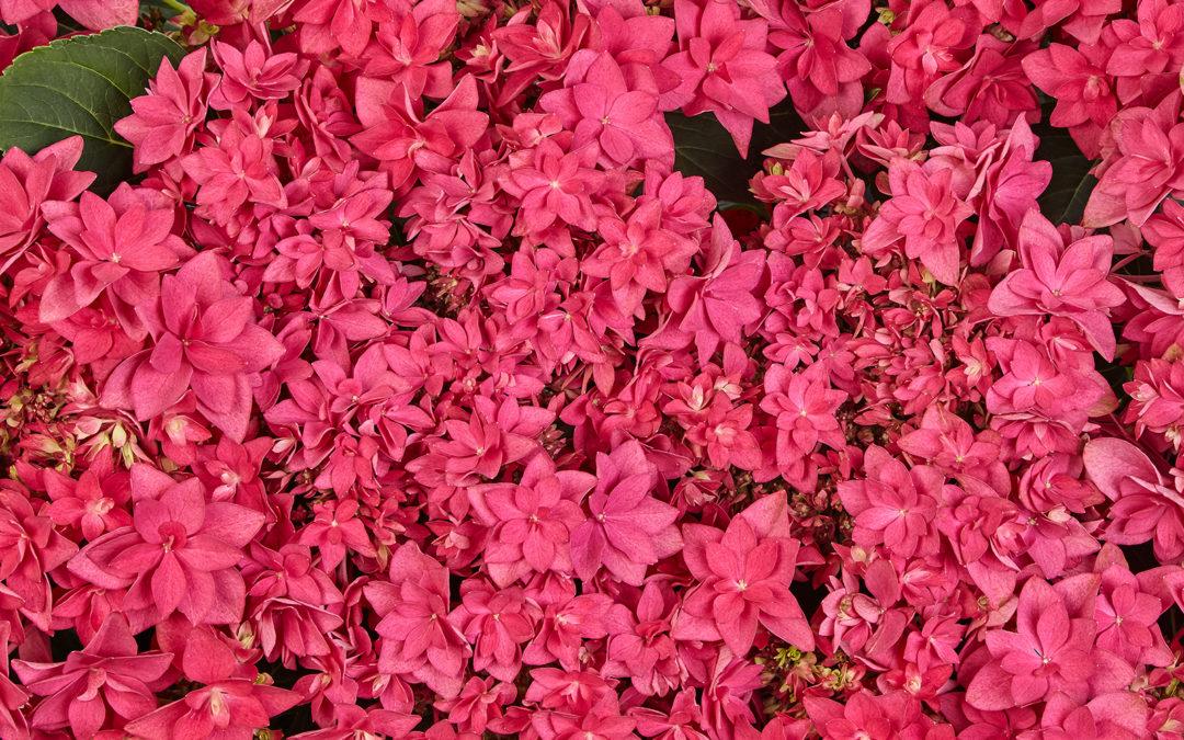 Francy Hot Pink