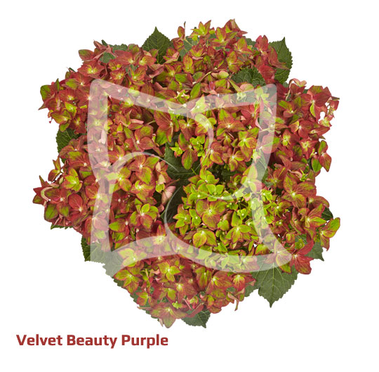 Velvet Beauty Purple