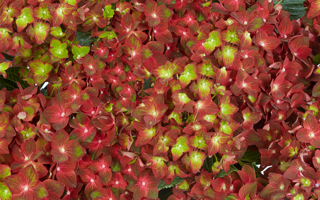Velvet Beauty Red
