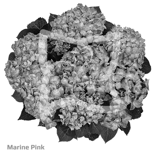 Marine Pink