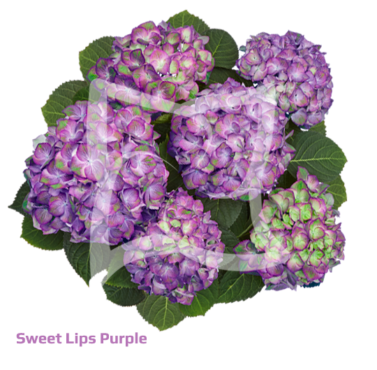 Sweet Lips Purple